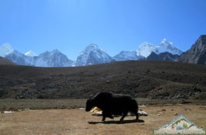 Himalayan yaks on Everest area, be careful with domestic yak while trekking to Everest base camp