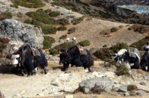 Yak Caravan - Yaks in the Himalayas, Nepal, Asia