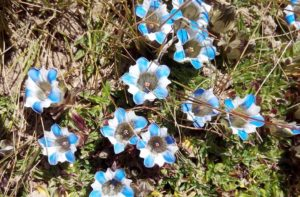 Flowers in Everest base camp trek - flowering plants of Mount Everest region Nepal